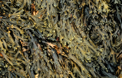 An extract from brown algae could give rechargeable lithium-ion batteries a boost.
